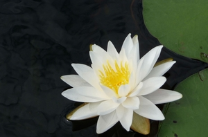 Water Lily Wisdom On Disappointment